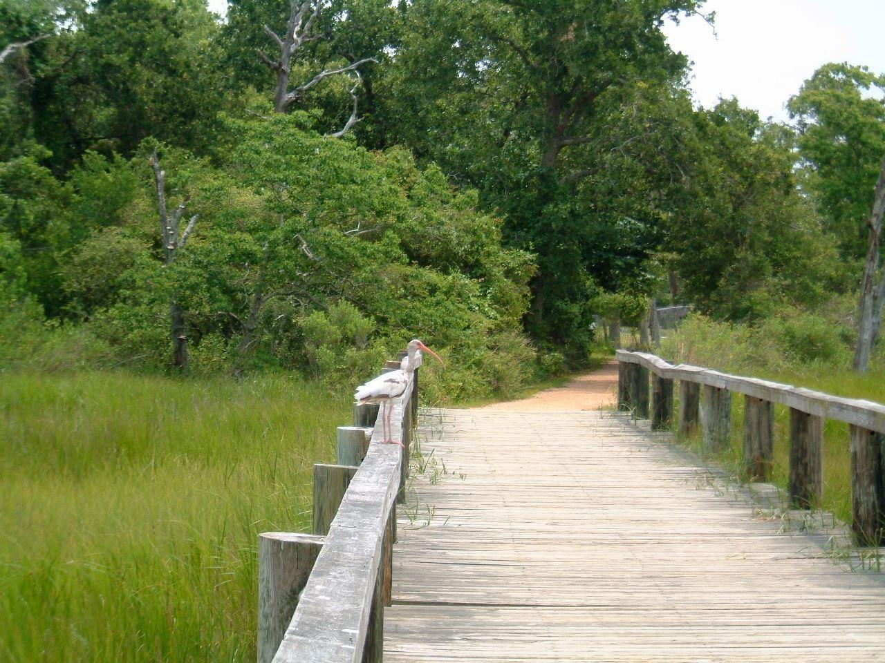 Ibis  Pine Gully boardwalk